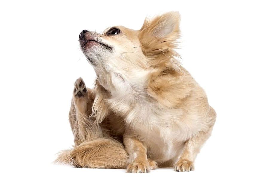 antiparasitarios pulgas perros