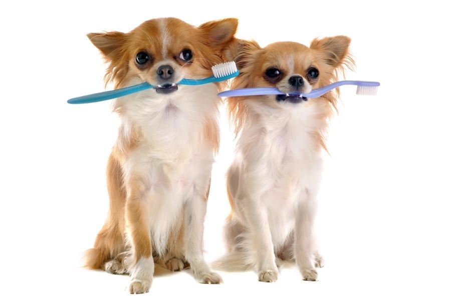 limpieza dientes perros