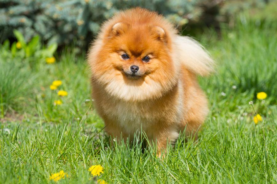 Pomerania raza perros