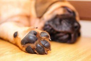 almohadillas de los perros