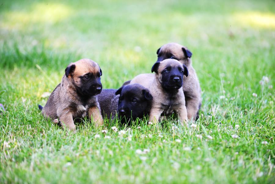 Desparasitar cachorros