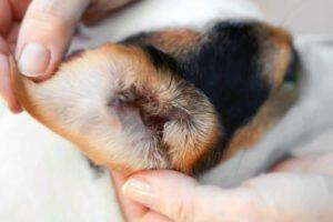 Cómo limpiar los oídos de mi perro