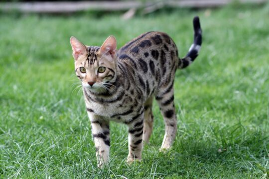 gato bengali exterior