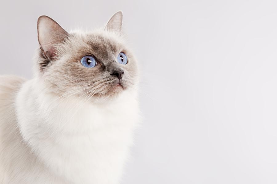 gato ragdoll docilidad