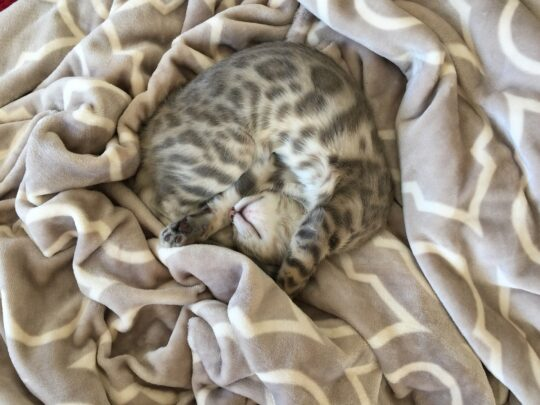 gato bengalí cachorro gris