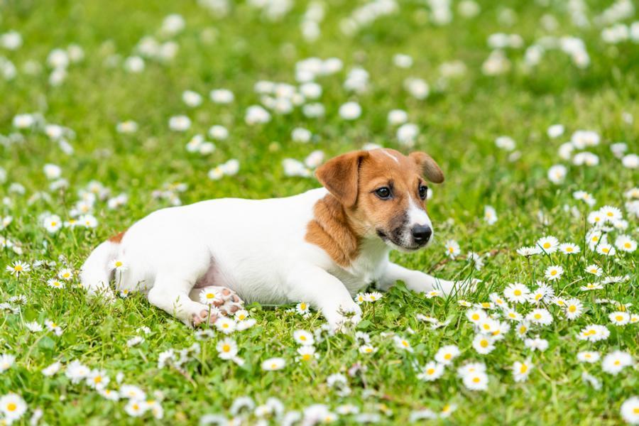 Parvovirus perros