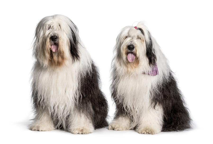 perros bobtail