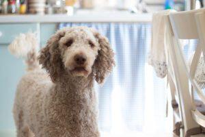 perros de pelo rizado