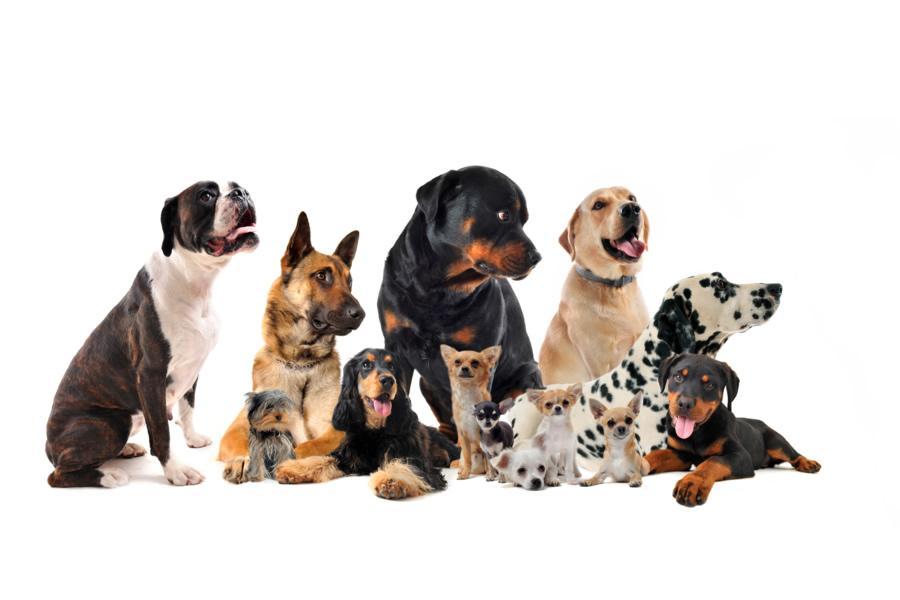 Razas de perros más comunes en España