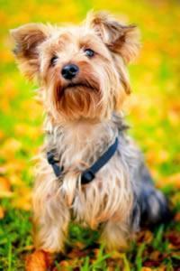 yorkshire raza de perros más comunes en España